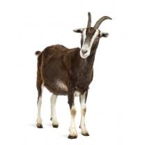 Cabra mayor +1año +30kg شاة