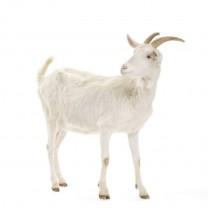 Cabra menor menos de 1año y 18-26kg حولية